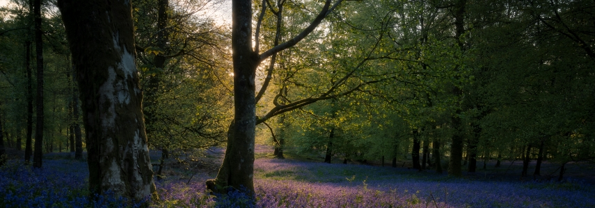 woods with purple flowers