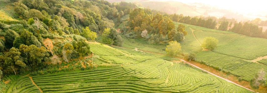 lush rice grows in steppes on sunlit hills