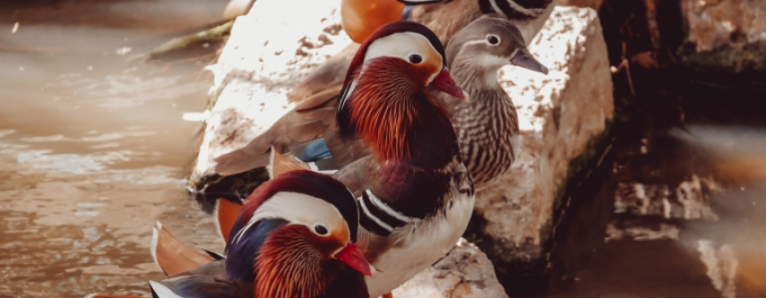 three mandarin ducks stand next to each other on rocks