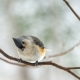 A Tufted Titmouse sits on a thin branch, tilting its head